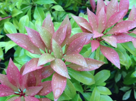 raindrops on our 'firebush' - not sure if that's the right name for it but it's what we call it!