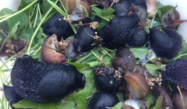 The war on Slugs begins – nematodes are my friend!