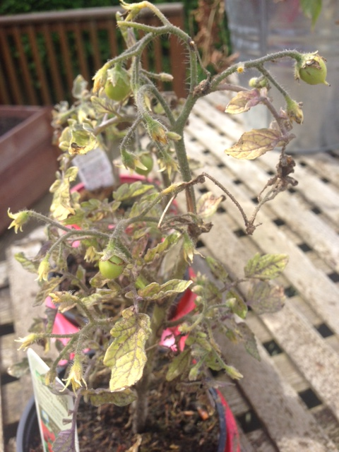We'd given up on these scraggly old tomato plants but they're bearing fruit