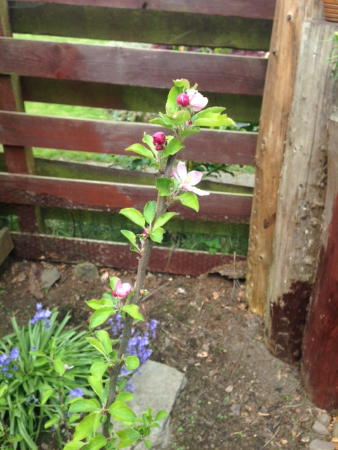 Our apple tree has blossom