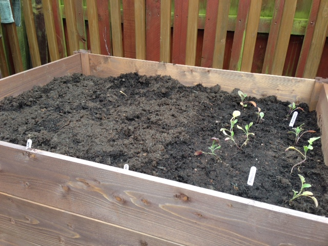 another bed planted - spinach, mizuna, spring onions, broccoli and brussels