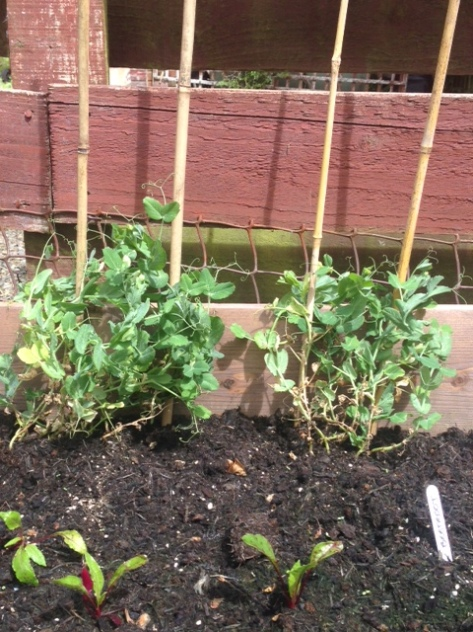 Peas are now staked & lifted out of their ground-bound tangle
