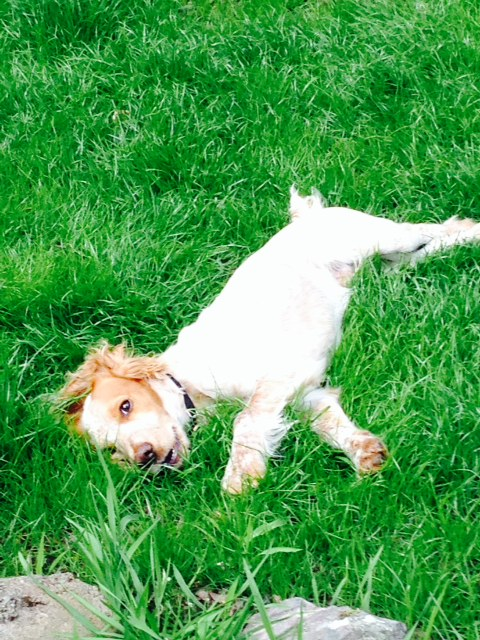 Cosmo enjoying the new lawn