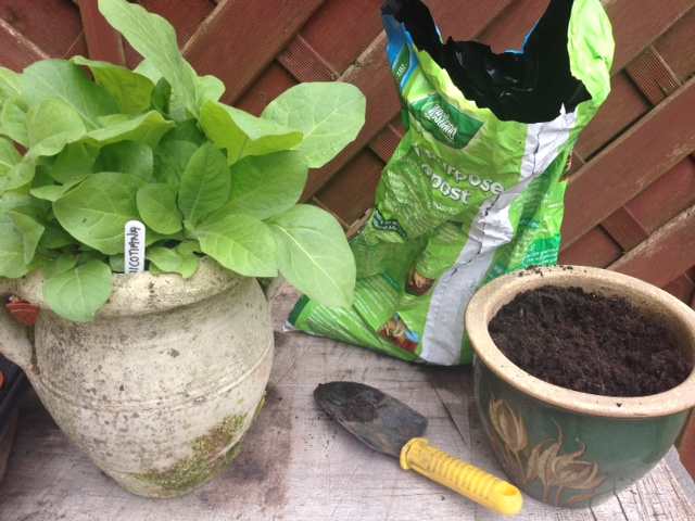 Thinning & re-potting the Nicotiana