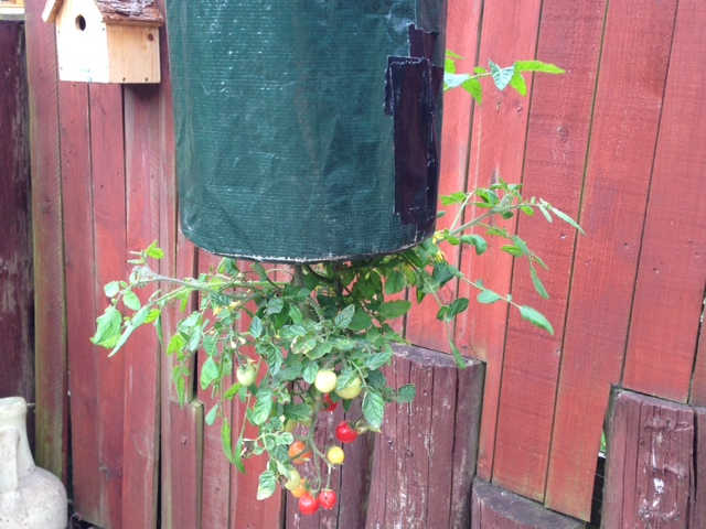 We have tomatoes & one plant is growing up!