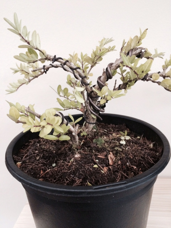 one of our fledgling bonsai