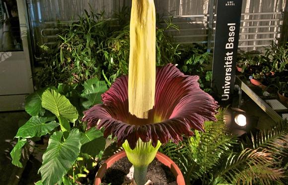 World's Biggest & Smelliest Flower Set To Bloom at Edinburgh Botanical Gardens