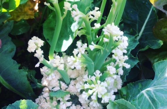 Wordless Wednesday – Cauliflower Fail!