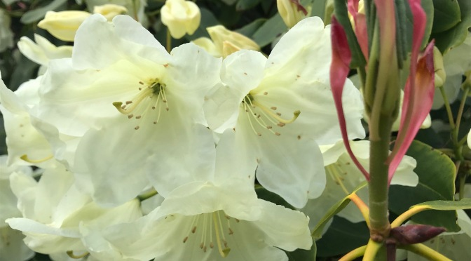 Wordless Wednesday Rhododendron