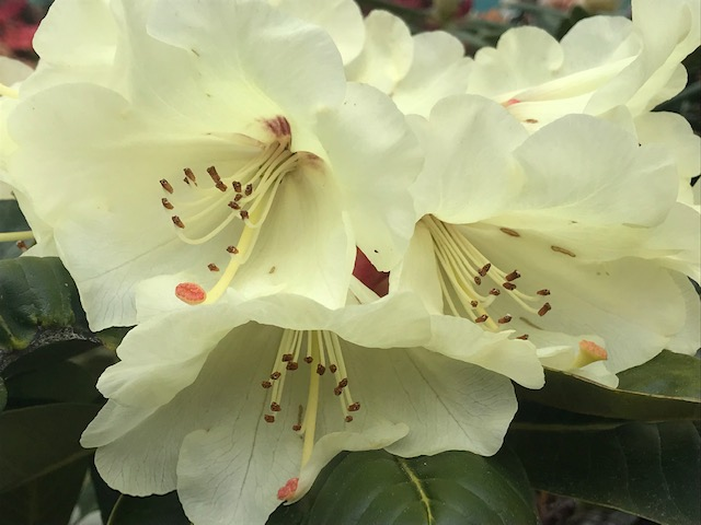 Rhododendrons at Glendoick Gardens