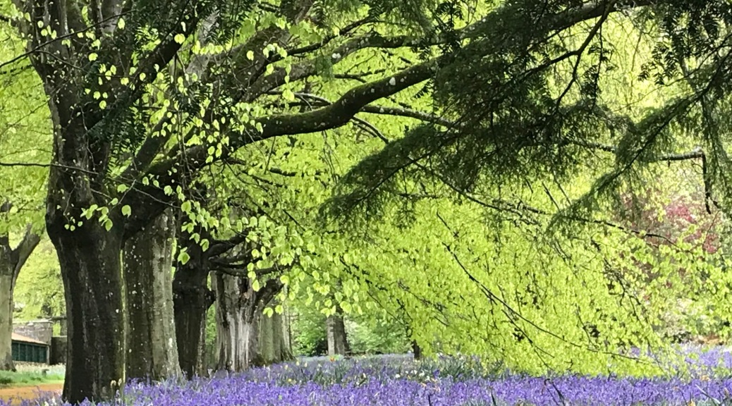 Bluebells at Dunninald Castle