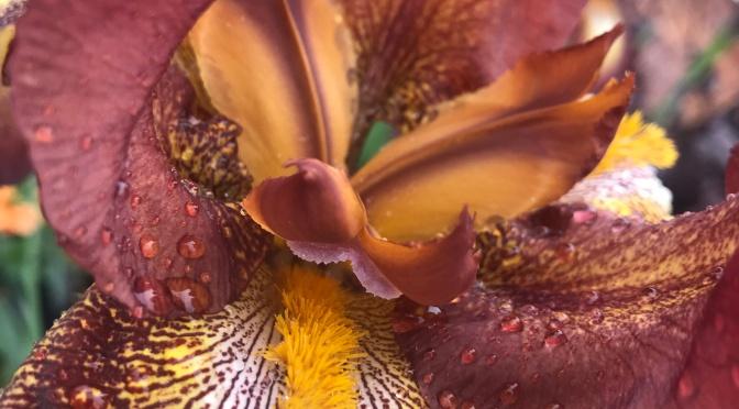 Wordless Wednesday – Iris