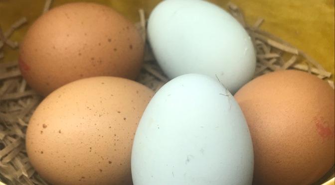 cream legbar eggs