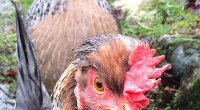 Cream Legbar Chicken